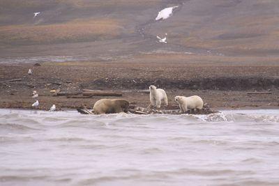 Whale-Carcas-Polar-Bears-Ar