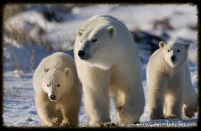 Great-ice-bear-polar-bear-tour01