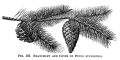 Scots-tree-pine-cone-illustration-vintage-botanical-engraving-pine
